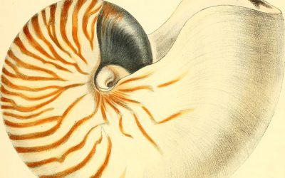 Nautilus shell: Behold the beauty and Nature's math